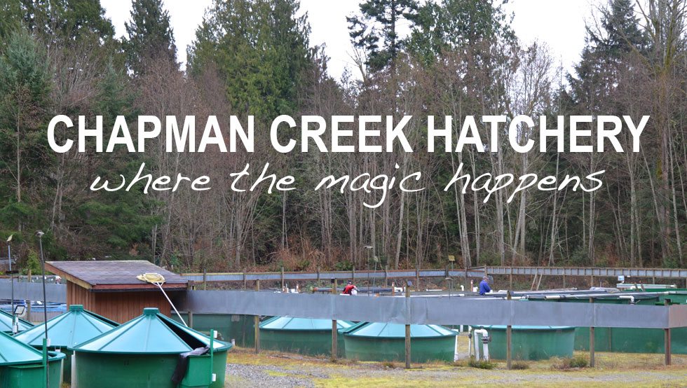 Chapman Creek Hatchery operations
